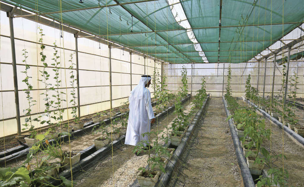 Farmers show crops can be grown in UAE desert