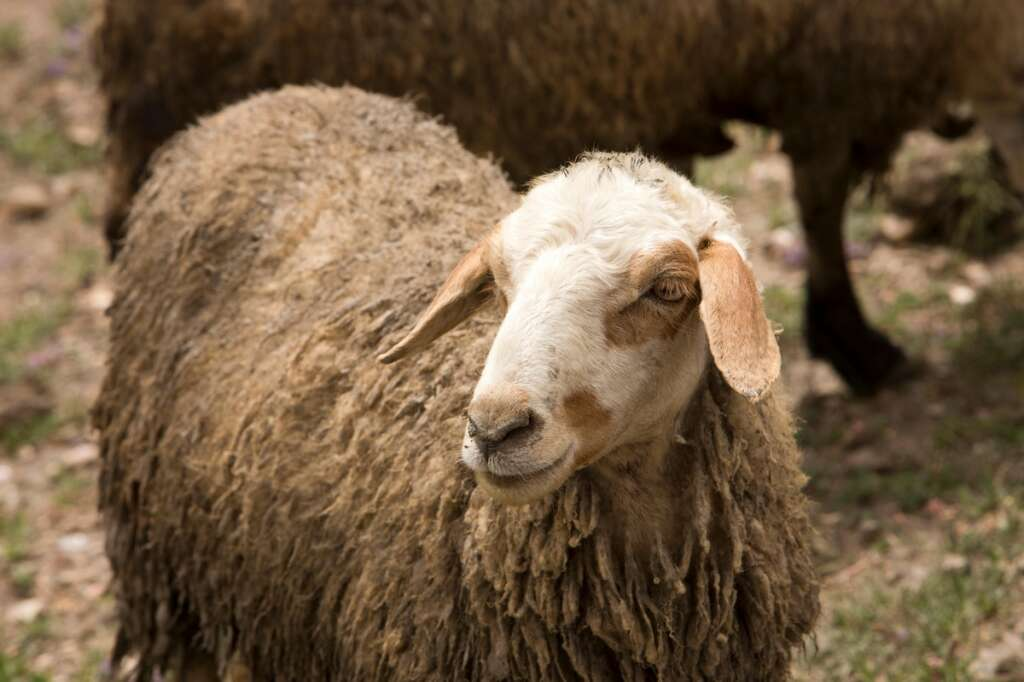 Kuwait student finds sheeps head in bag bearing death note