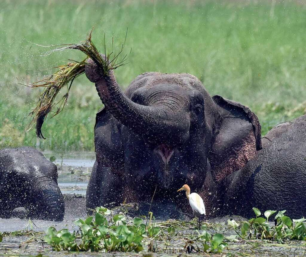 One of the animals most affected by tea plantations in Assam is the elephant.