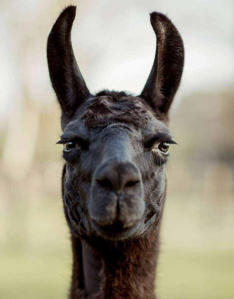 Belgian, U.S. scientists look to llama in search for Covid-19 treatment thumbnail