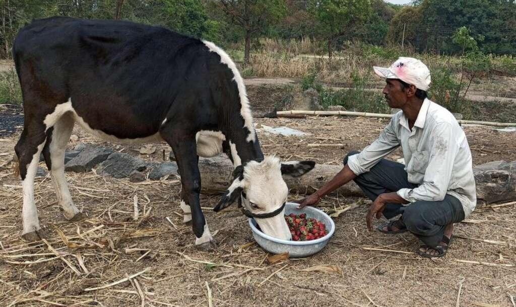 Indian farmers,  strawberries, lockdown