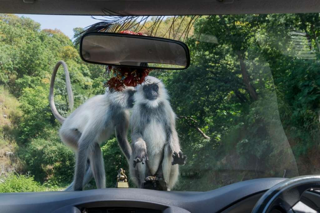 Video: Monkeys attack lab technician, flee away with Covid-19 test samples