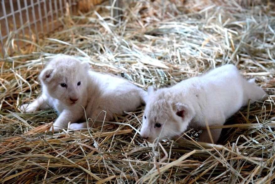 Dubai Municipality invites children to name two white cubs at Dubai Safari