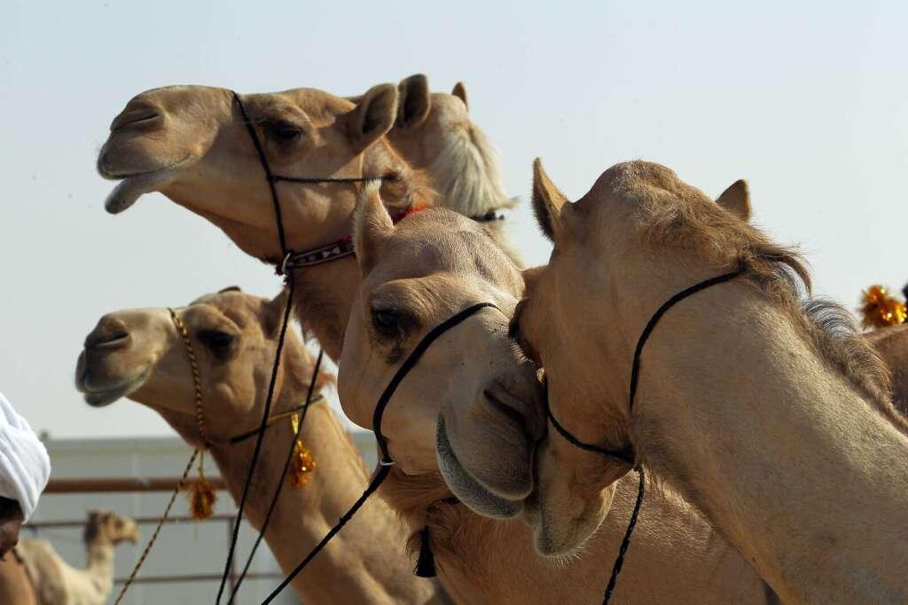 Camel beauty contest at Abu Dhabis Al Dhafra festival