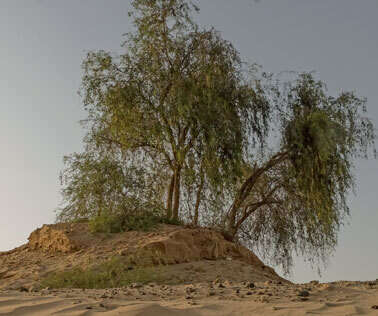 Ghaf: A look at the importance of UAE's national tree - Khaleej Times