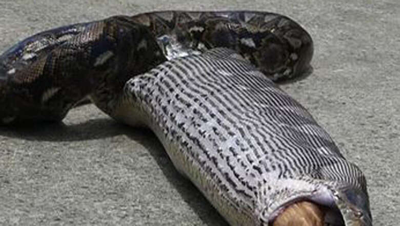 17ft long python spits out cat after swallowing it - News