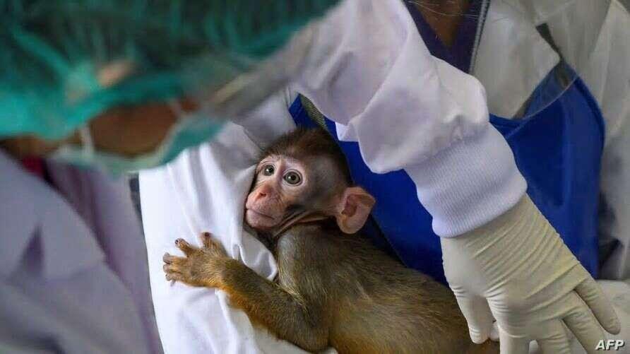 Moderna, coronavirus, Covid-19, vaccine, worked, well, monkeys, study, New England Journal of Medicine