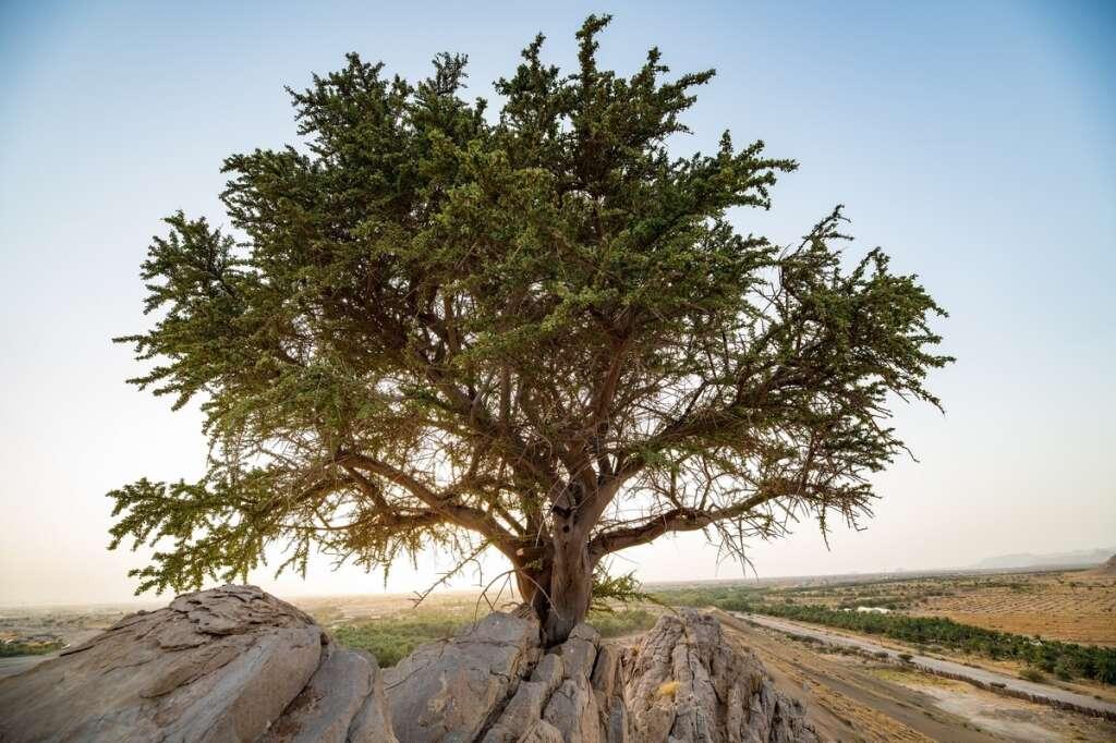 Abu Dhabi, tree, 100-year-old tree, uae