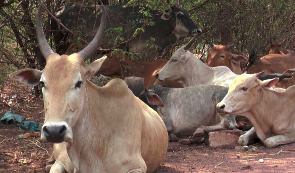 indian cow, milk, gold, yellow milk, BJP leader, Dilip Ghosh
