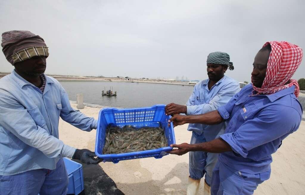 UAE's only shrimp farm casts a wide net - News   Khaleej Times