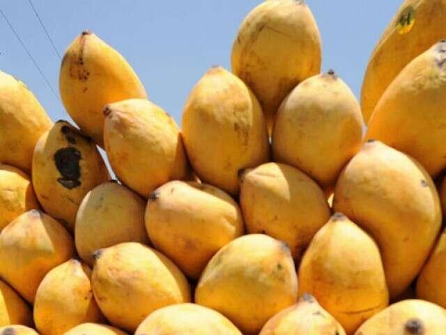 Pakistani mangoes arrive in the UAE - News | Khaleej Times