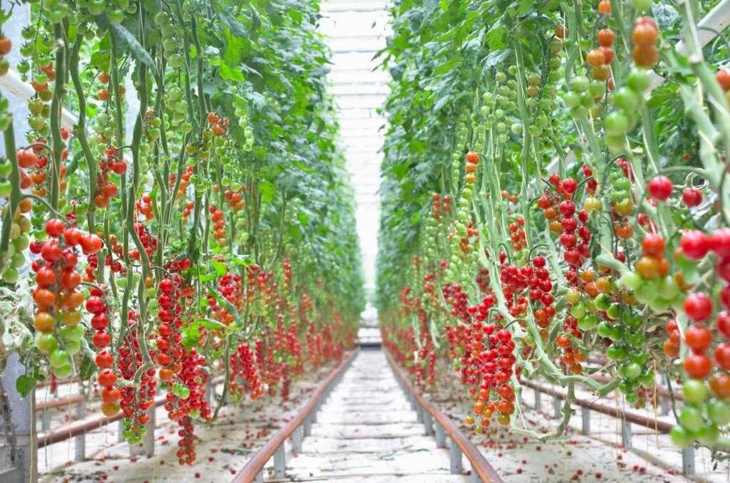 Commercial-scale, indoor, tomato farm, open, Abu Dhabi, farming facility,