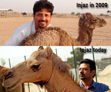 Injaz, world's first cloned camel, celebrates her birthday - Khaleej