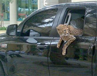 Cheetah's backseat safari cheers Jumeirah crowd