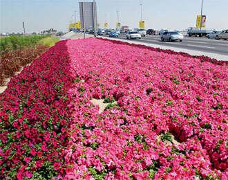 30m flowering plants adds colour to Dubai