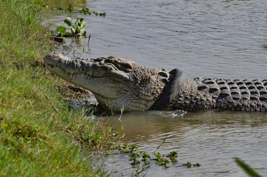 How do you free a croc stuck in a tyre? Stop polluting!
