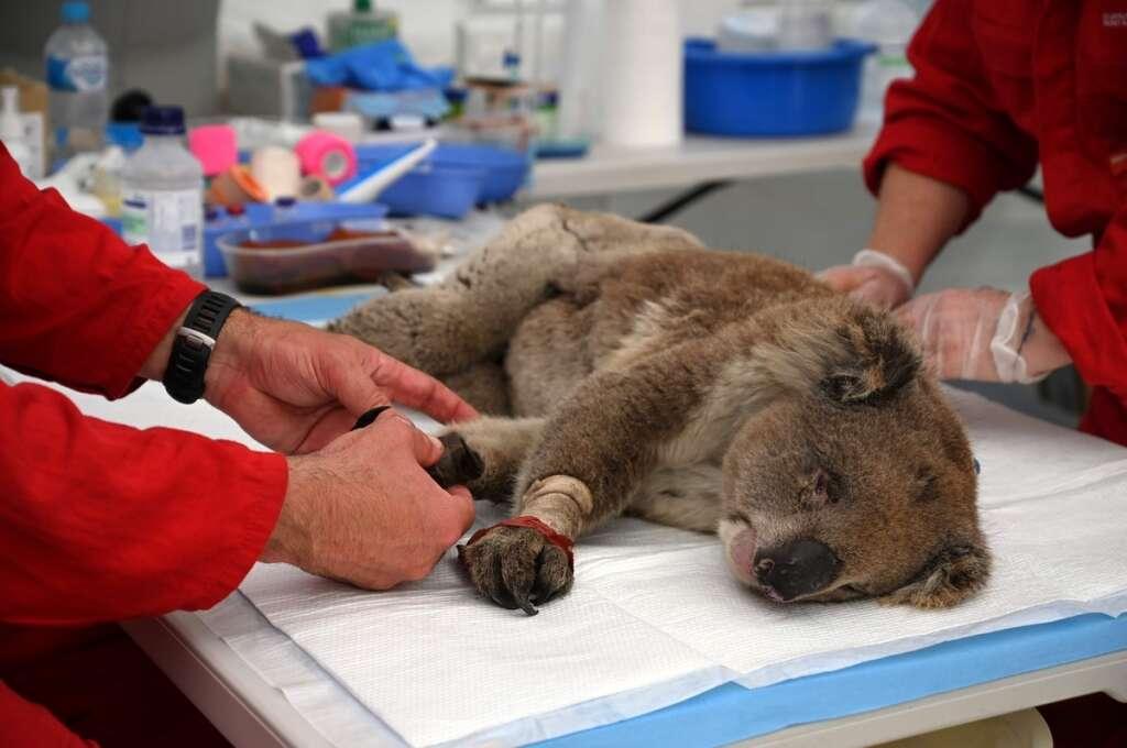 Koala row, topple govt, New South Wales
