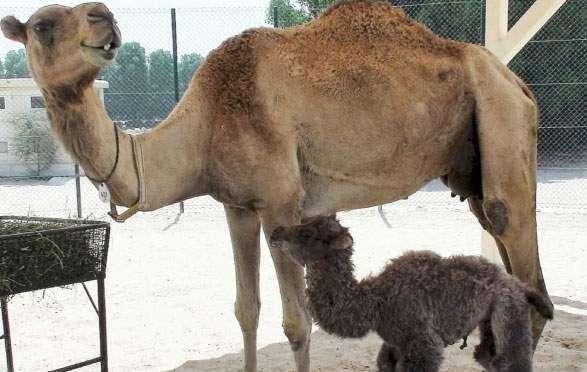 Dubai centre produces first cloned Bactrian camel