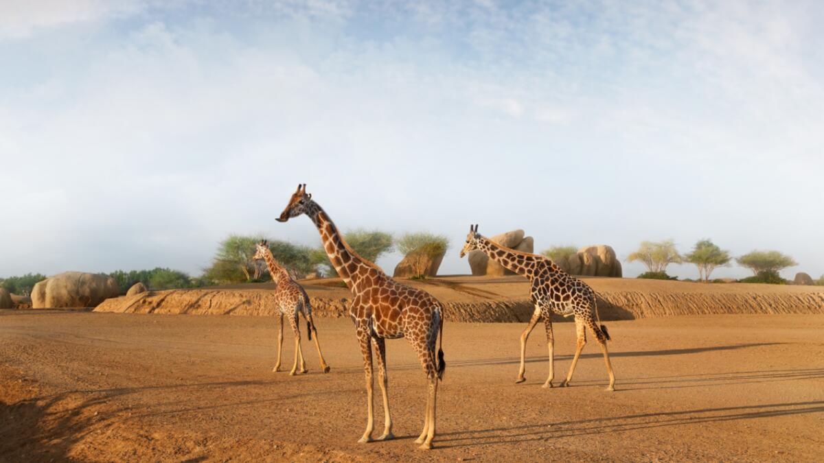 UAE: Newborn giraffes to be released into world's largest man-made safari
