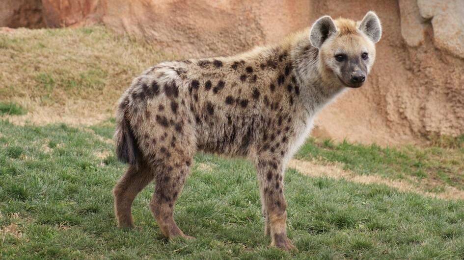 This Gulf restaurant was serving HYENA MEAT to customers