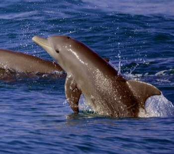 Abu Dhabi leads world in humpback dolphin numbers