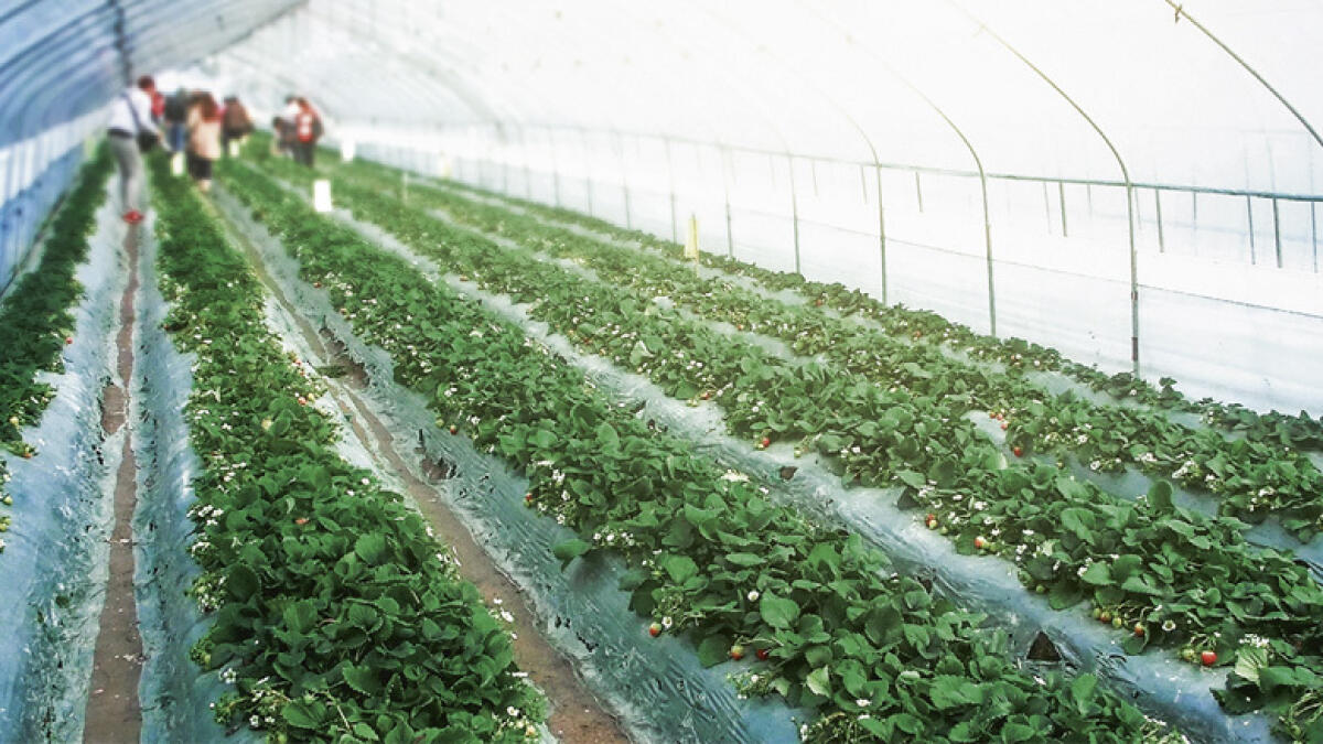 World's largest indoor farm breaks new ground in UAE