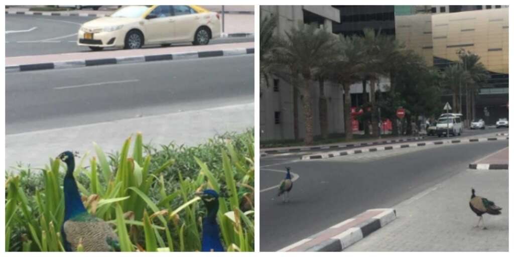 Video: Have you spotted peacocks on this Dubai road?