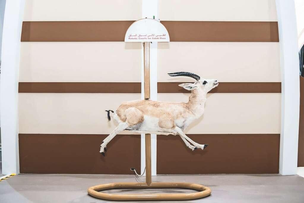 Salukis to chase robotic gazelles