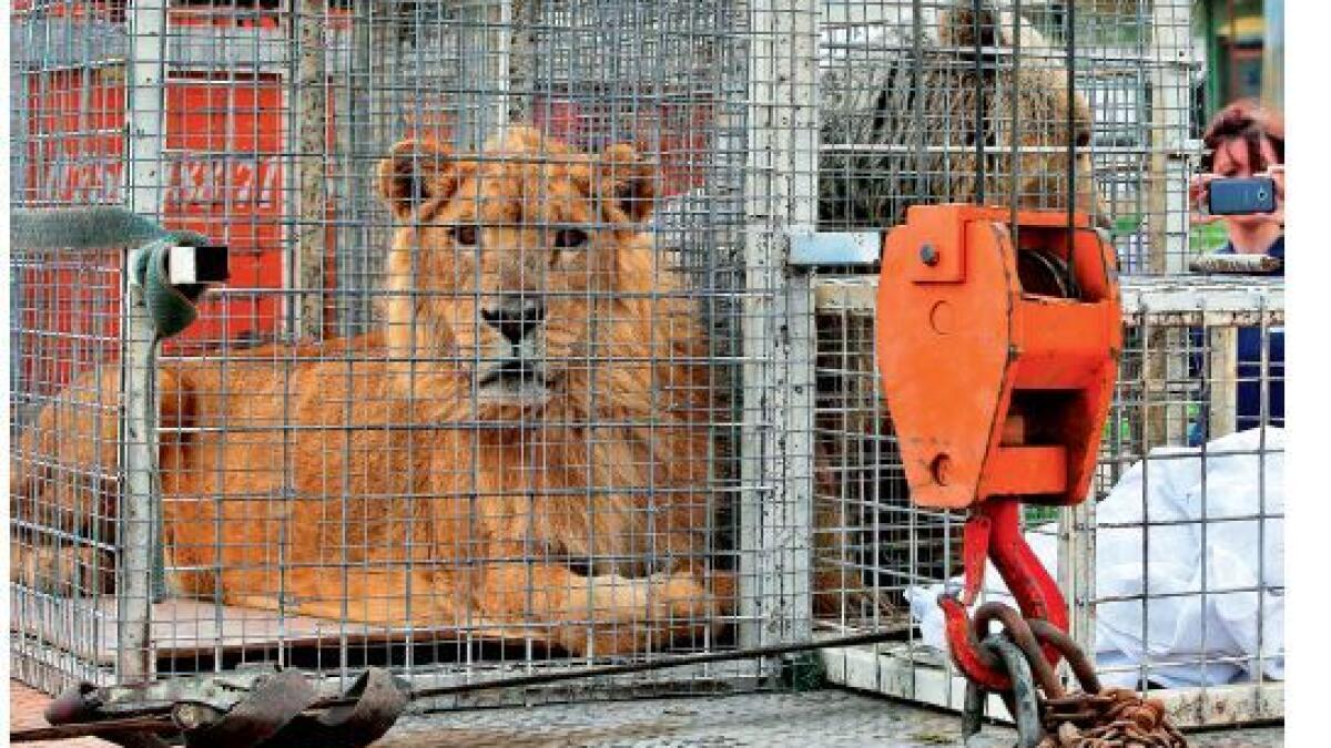 Ailing lion, bear finally flown out of Mosul zoo