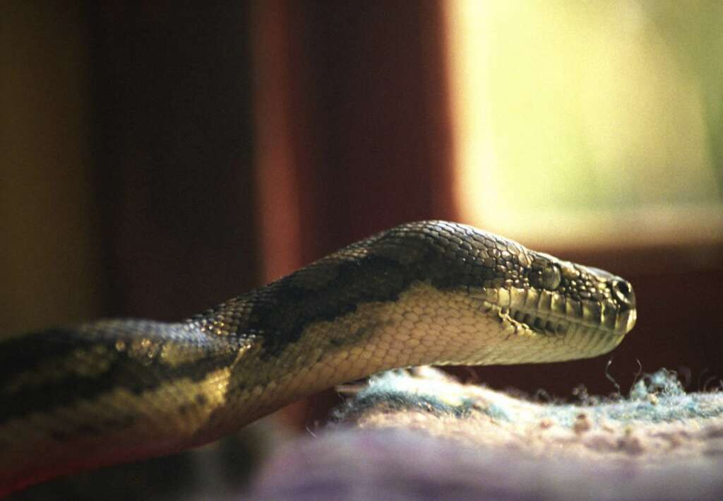 Quick-wit, Emirati teen, rescues, brother, poisonous, snake bite