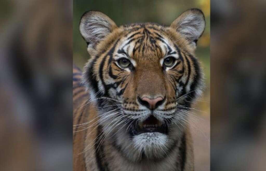 Nadia, tiger, US, New York City zoo