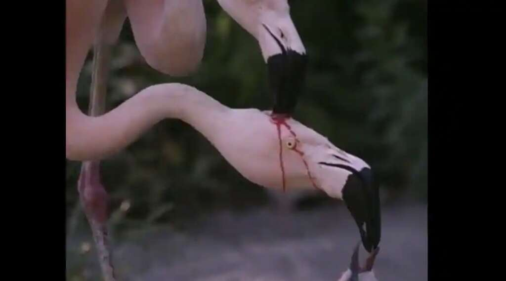 flamingo, fighting, indian officer, clarifies, flamingoes, fight, argument