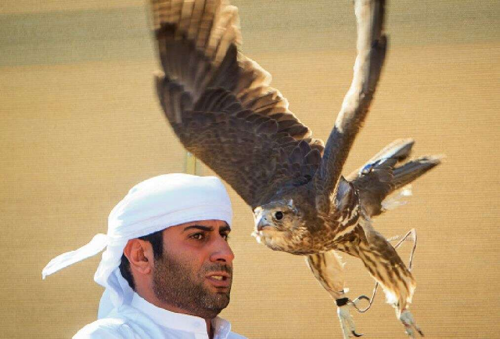 A look at majestic art of falconry in UAE