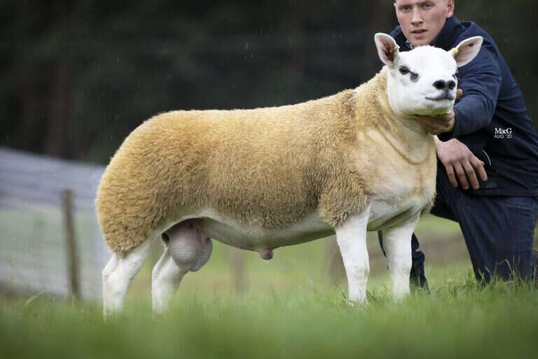 world's, most, expensive, sheep, texel, lamb, Scotland, double diamond