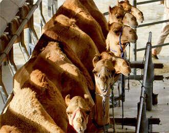 Camel milk works 'wonders' with autistics