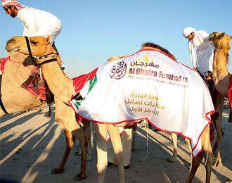 Camel beauties head for Al Dhafra fest